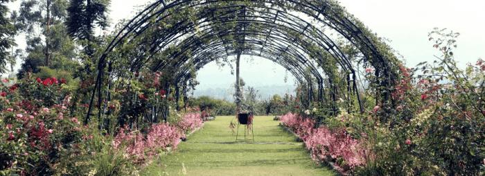 kebun mawar situhapa - bunga