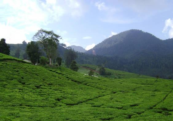 kebun teh malabar