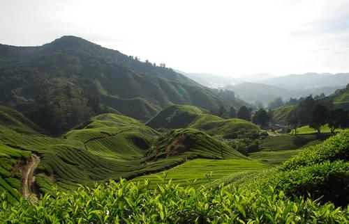 kebun teh tambi wonosobo