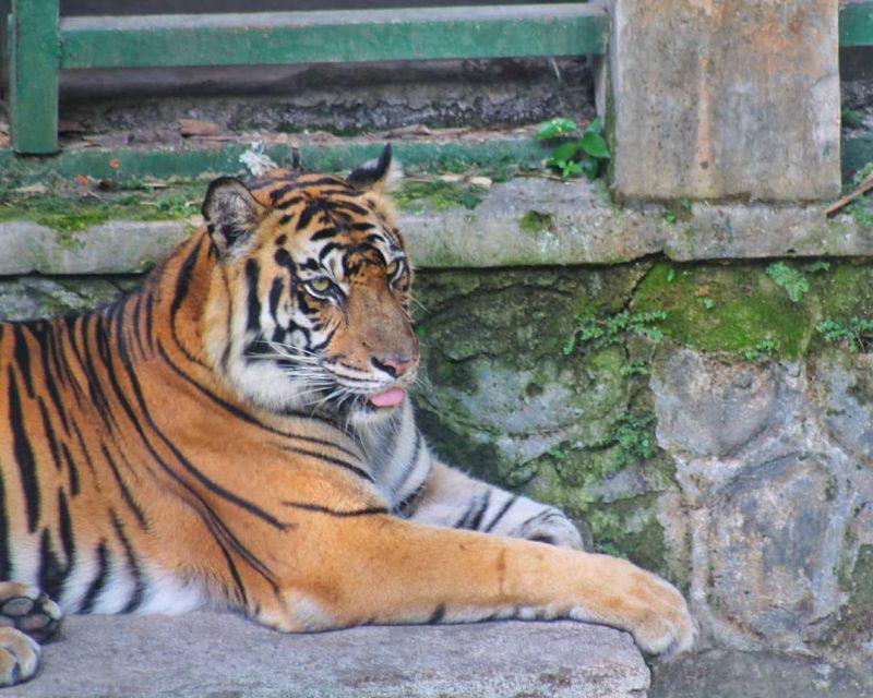Happy Loka Tiger