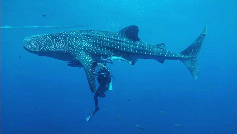 Teluk Cendrawasih Shark Dive