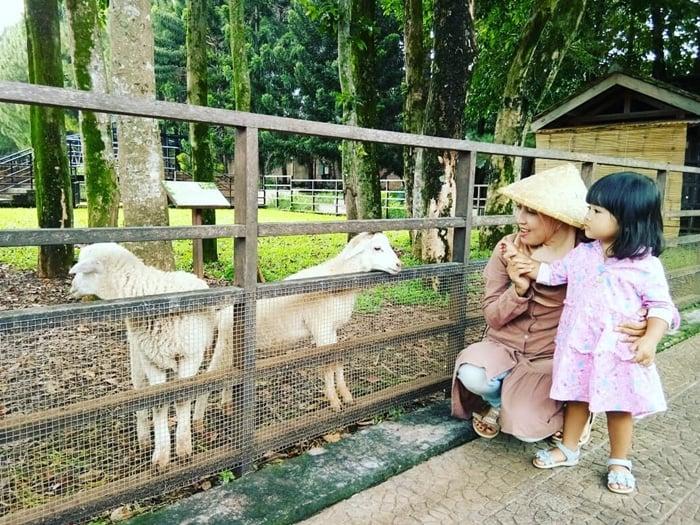 Kuntum Farm Goat