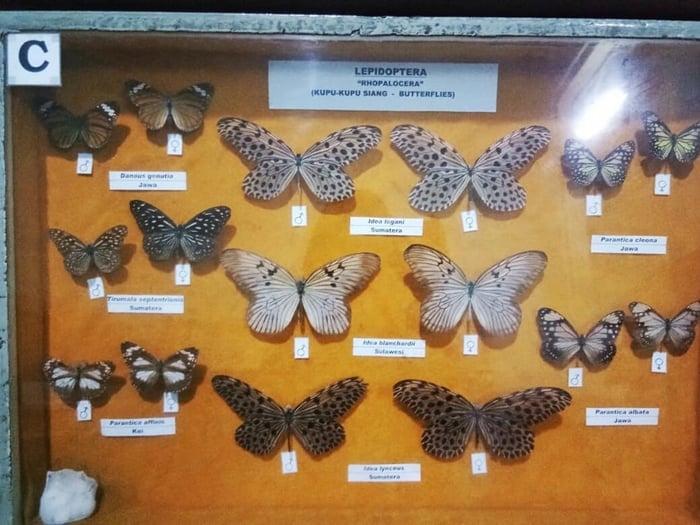 Museum Zoologi Kupu kupu
