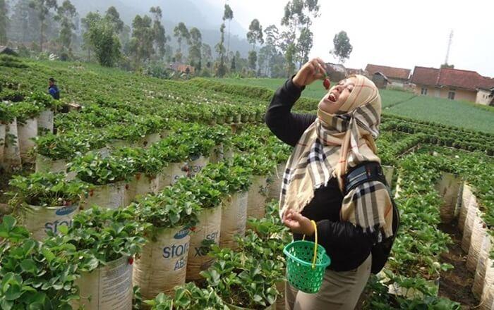 Agrowisata Kebun Stroberi Serang