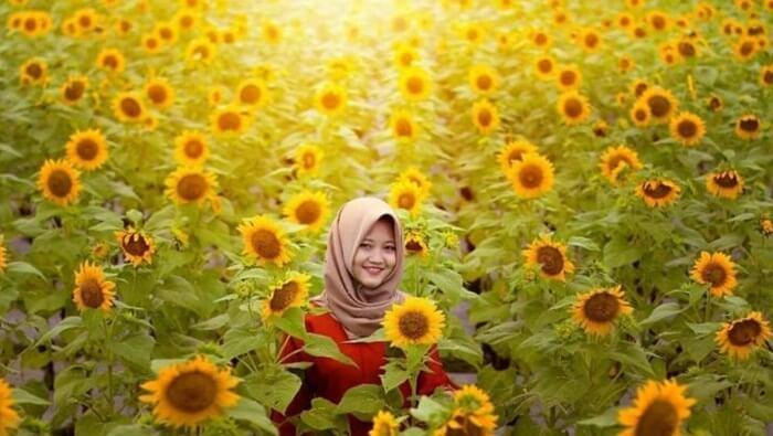 Kebun Bunga Matahari.