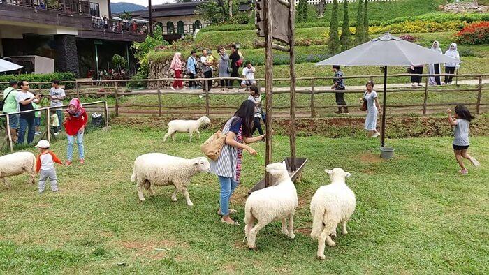 ngasi makan domba