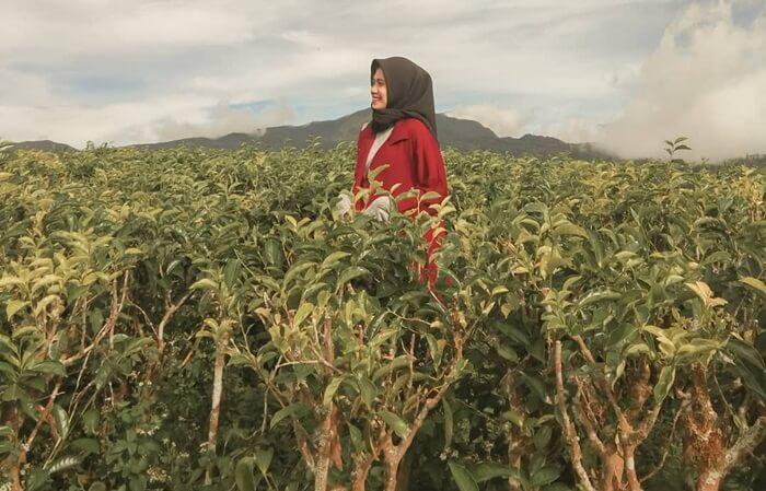 Kebun teh Malino Highlands yang luas