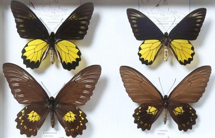 Kupu-kupu Troides banyak terdapat di cagar alam lembah anai