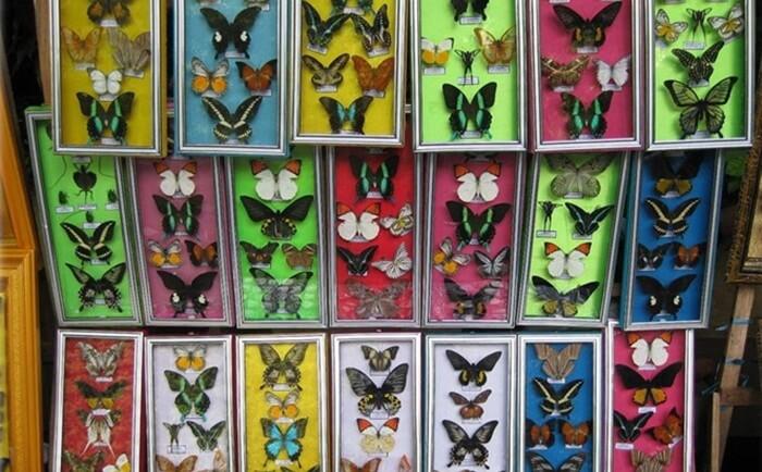 display awetan kupu-kupu di penangkaran kupu-kupu taman nasional batimurung
