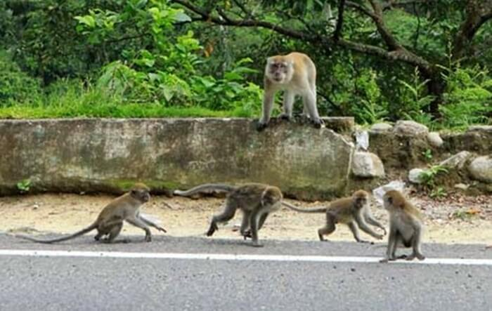 monyet di tepi jalan sepnajnag lembah anai