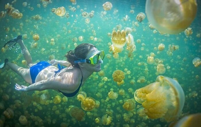 populasi ubur ubur tidak bersengat di danau pulau kakakabn memang sangat padat