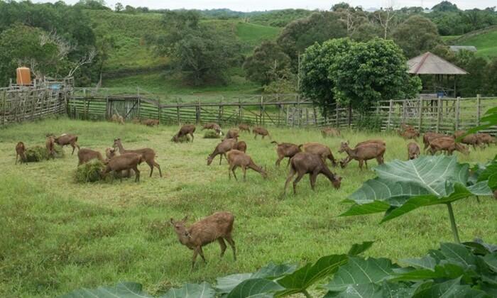 wisata di penajam Paser Utara salah satunya adalah Penangkaran Rusa yang memebiakkan rusa sambar