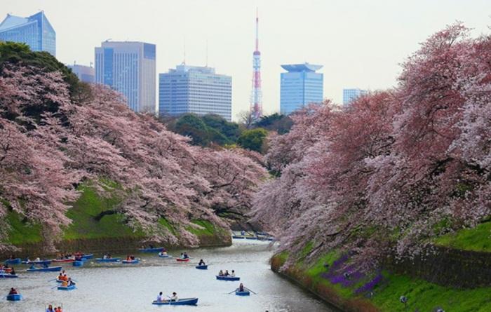 Tempat wisata di Tokyo utuk mengamati bunga Sakura ini berada dalam kawasan Istana Kekaisaran.