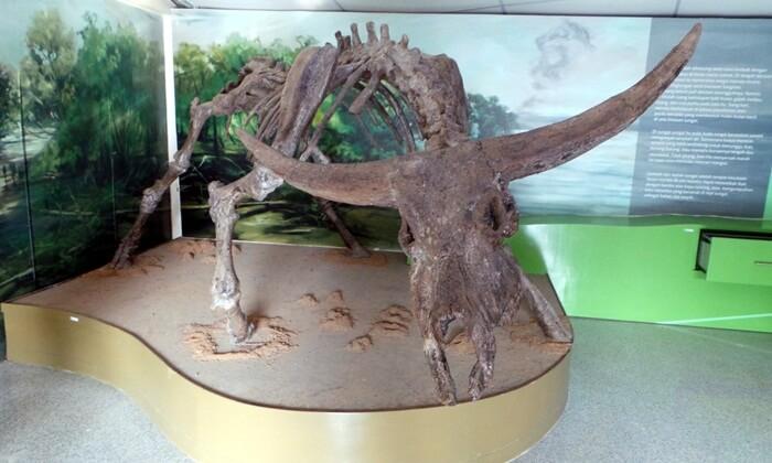 Koleksi museum Dayu berupa kerangka banteng purba