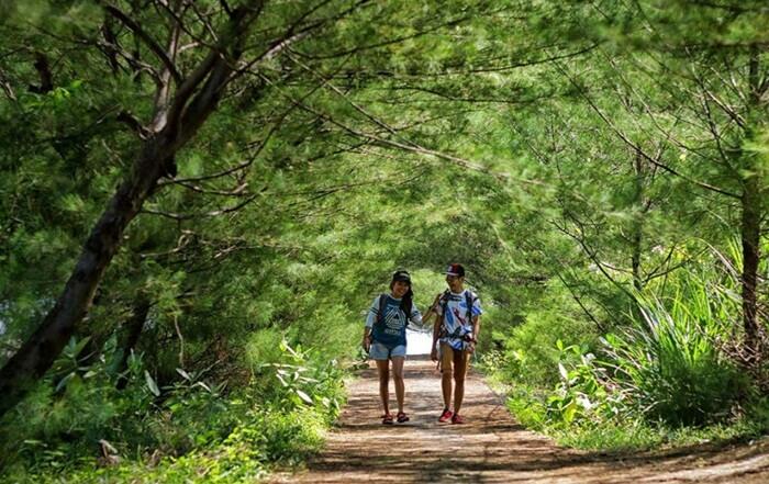 Tempat Wisata Bantul Pantai goa cemara memiliki lahan luas yang ditumbuhi ribuan pohon cemara.