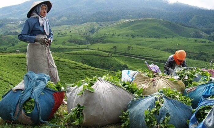 Seperti pada umumnya agro wisata kebun teh, tempat wisata Karanganyar yang satu ini juga terletak di lereng gunung yaitu gunung Lawu.