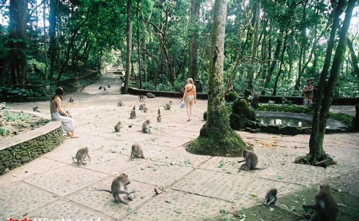 Terdapat sekitar empat kelompok monyet yang berdomisili di tempat wisata Ubud ini.
