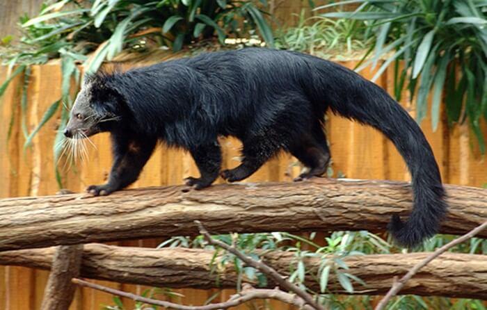 Binturong, musang terbesar yang dilindungi yang etrdapat di hutan sekitar kawasan pantai biduk biduk.