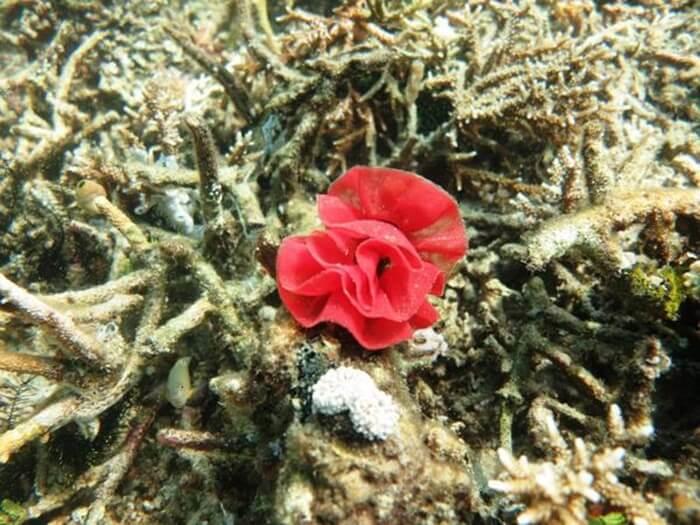 Mawar Laut