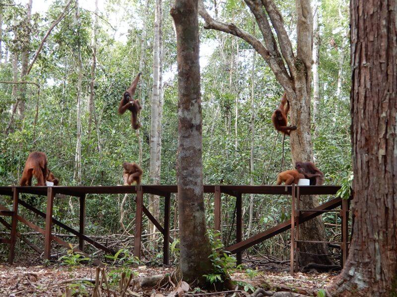 Menyaksikan Orang Utan Langsung Di Habitat Aslinya