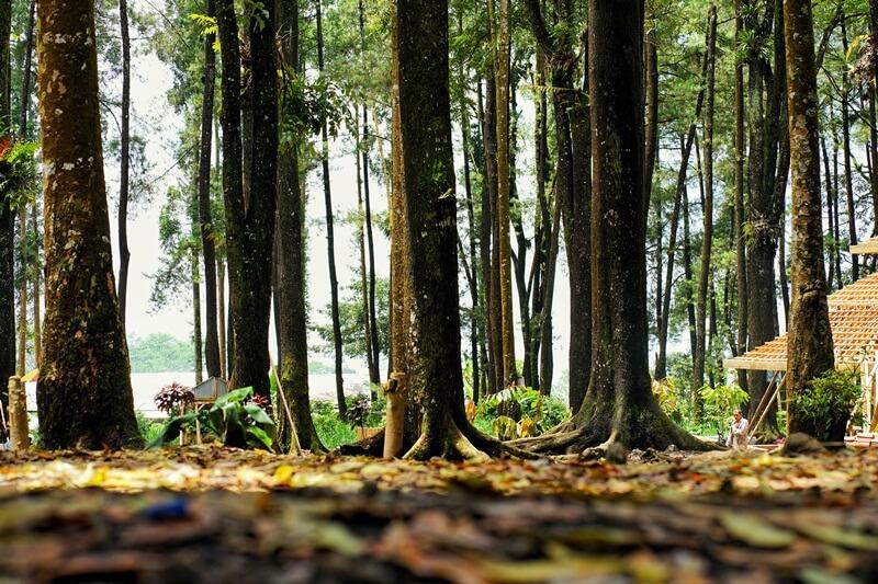 Pohon Pinus Yang Berjajar Dengan Rapih