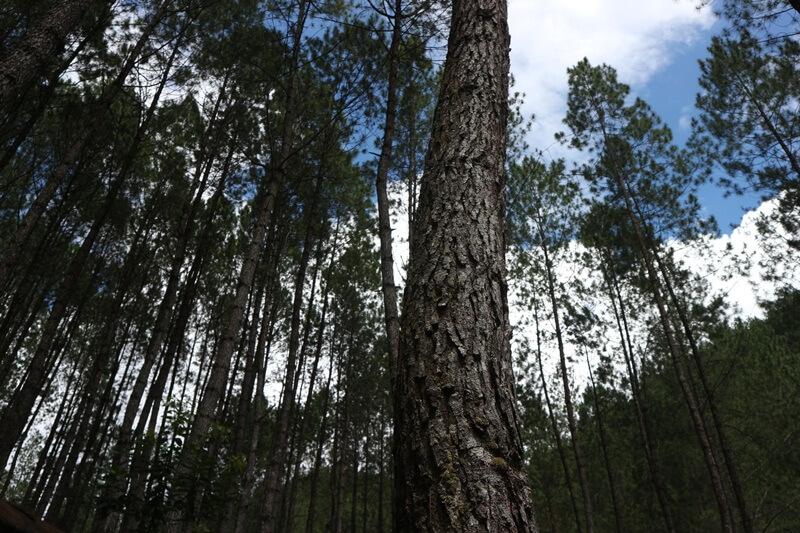 Jajaran Pohon Pinus Yang Selalu Memayungi