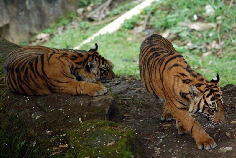 Harimau Sumatera Salah satu Koleksi Margasatwa
