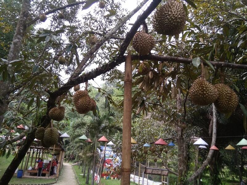 Menikmati Durian Langsung Dari Pohonnya