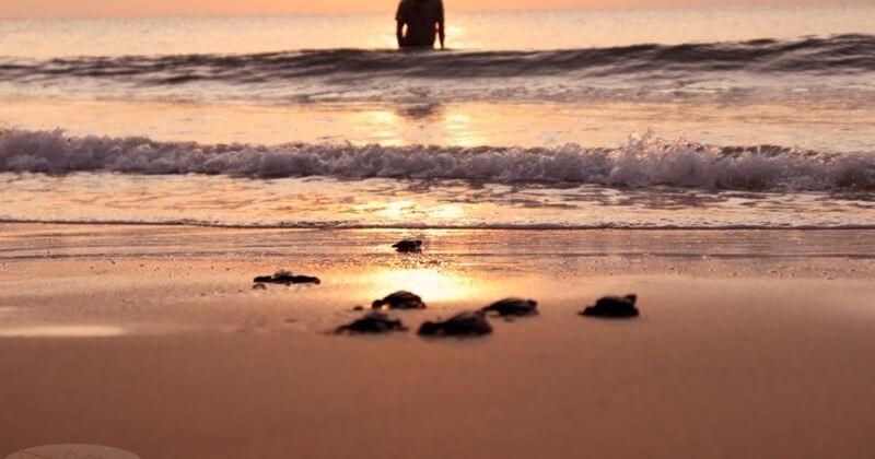 Konservasi Penyu Di Pantai Lampuuk