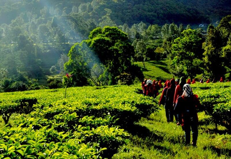 Menyusuri Kebun Teh di Agrowisata Gunung Mas
