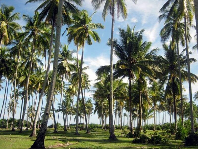 Pohon Kelapa Di Pantai Bengkenang
