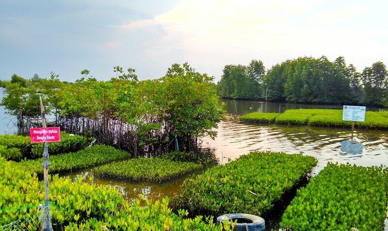 Surga Mangrove Di Langsa Aceh