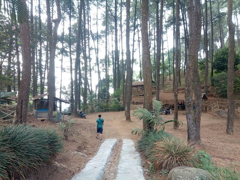 Hamparan Pohon Pinus