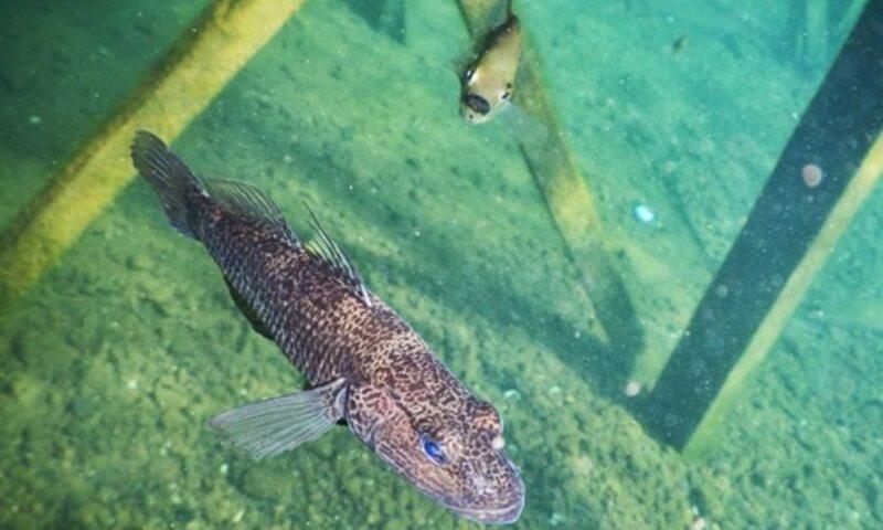 ikan purba buttini