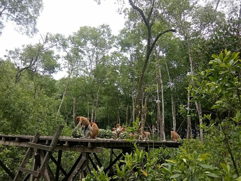 bekantan hutan mangrove tarakan