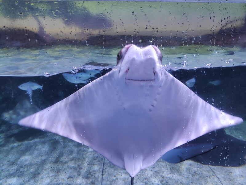 ikan pari di jakarta aquarium