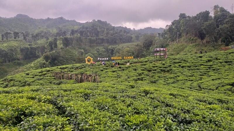 landscape kebun teh gunung gambir