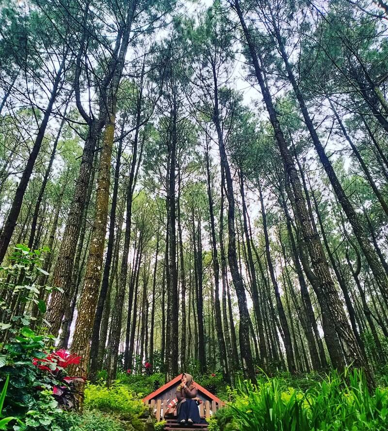 hutan pinus suwono