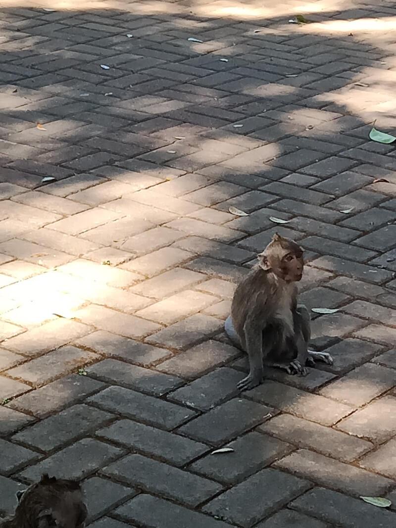 koloni monyet yang ada di taman wisata wendit